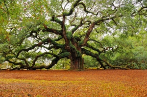 Oak manifested